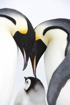 仲睦まじい皇帝ペンギンの親子の写真11枚 | オモシロ画像の集積