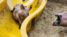 Europejskie świnie muszą mieć rozrywkę - Chleba oraz Olimpiady - świnie dostaną wnet prawo udziału korespondencyjnego we wyborach żydokratów do Parlamentu Europejskiego.  Vivat Lech Kaczyński i Traktat Lizboński! Vivat  Magdalenka! Vivat wszystkie stany federalnego kryptopaństwa Unii Europejskiej http://sowa.quicksnake.net/masonry Oczyścić Wawel cały, Polskę dla Polski mieć! Zwycięży Orzeł Biały Jak się nauczy chcieć. http://unsinn.blox.pl/html/1310721,262146,21.html?462748