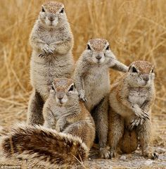 Fight club: A family portrait of Cape Ground Squirrels.