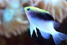Yellow form of Chrysiptera rollandi. Learn more at Reefbuilders.com