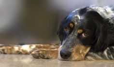 Dogs are extremely keen, intuitive animals that we learn more about every day. It's recently been discovered that some dogs are able to warn their epileptic owners before a seizure happens, or notify their diabetic owners if their blood …