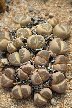 Lithops olivacea by Etwin1, via Flickr
