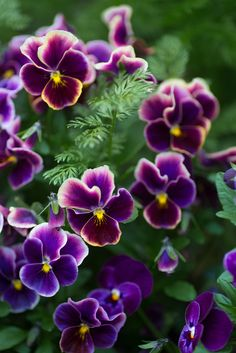 051514 Pansy ~ I love pansies