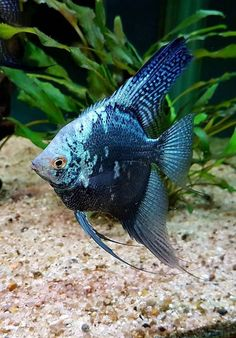 How To Choose A Tropical Fish Aquarium The first decision you must make when you buy an aquarium is whether you plan to keep freshwater fish or saltwater Tropical Freshwater Fish, Tropical Fish Aquarium, Freshwater Aquarium Fish, Aquarium Fish Tank, Fish Ocean, Pretty Fish, Cool Fish, Beautiful Fish, Beautiful Sea Creatures