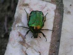 Zelený chrobák