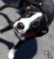 Ronnie is an adoptable Border Collie Dog in Thomasville, NC. Ronnie is one of a litter of 8 born in early October 2011. His mom is a border collie mix, but we don't know anything about his dad. He is ...