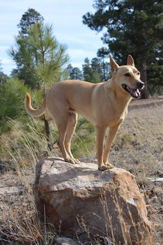 Ginger The Carolina Dog posing during a hike, https://www.facebook.com/carolinadogmodel/?fref=ts