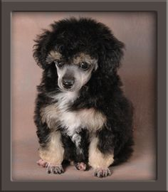 Here it is. It's the puppy I really, really want. A phantom teacup poodle. Please please please can I have one?