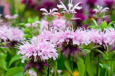 Providing a captivating floral display in summer, award-winning Monarda 'Squaw' produces masses of clear pink flowers for weeks