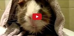 A man interviews his Guinea pig! This had me in stitches!