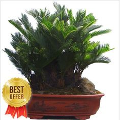 Cycas Plant Cycas Seeds Mini Bonsai Flower Seeds 2 by Greenworld1