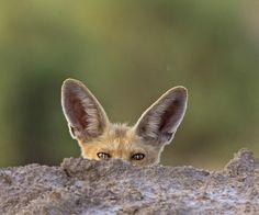 Arabian Red Fox by Omar Alshaheen on 500px