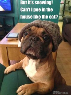 So DogGone Funny!: He wants to pee in the house like the cat! |French Bulldog
