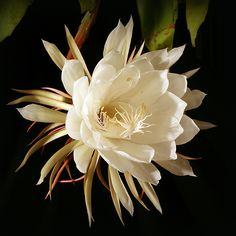Galan de Noche ~ Night Blooming Jasmine