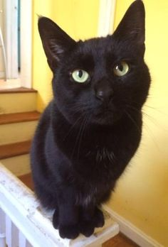 Meet Milan, an adoptable Domestic Short Hair looking for a forever home. Cat •…