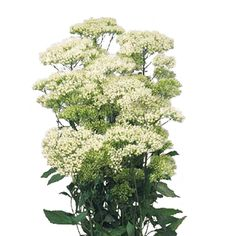 A fresh white flower, Trachellium is an umbrella-shaped filler with clusters of tiny blooms, this bushy white flower would add a romantic charm to any wedding bouquet, table centerpiece or flower arrangement. Trachellium is shipped ready to use and at wholesale prices - shipping included in the...