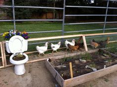A Chicken Moat Garden - Thehomesteadingboards.com