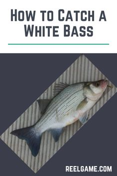 This guide will teach you about white bass and explain how to catch them. White bass are spread throughout most of the Midwestern United States. They can also be found as far south as Florida and as far west as California. Coyote Hunting, Pheasant Hunting, Archery Hunting, Lake Erie Fishing, Bass Fishing Lures, Kayak Fishing, Summer Catch, Topwater Lures, Deer Hunting Blinds