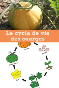 Le cycle des citrouilles  Vos enfants ont-ils déjà vu des courges pousser?