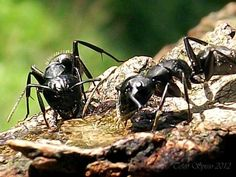 formiche-mangiano