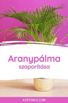 Aranypálma gondozása, szaporítása, betegségei, igényei, virágzása, kártevői, ültetése, locsolása, tápoldatozása. Plants, Plant, Planets