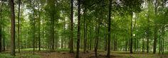 Fototapete Buchenwaldpanorama (Nr. 9724)  www.berlintapete.de