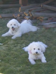 Missy and her brother Moses...look like my Mikko & Bailey <3