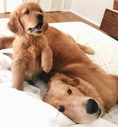 Golden & Red Golden Retrievers #GoldenRetriever