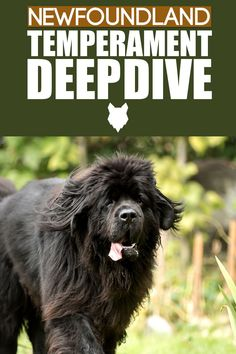 The Newfoundland dog is one of the largest breeds on the planet. But what's their temperament really like? Let's take a look. Best Guard Dog Breeds, Best Guard Dogs, Giant Dog Breeds, Giant Dogs, Large Dog Breeds, Large Dogs, Relaxed Dog, Best Dogs For Families, Dog Behavior