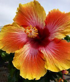 Hawaiian Sunset Hibiscus
