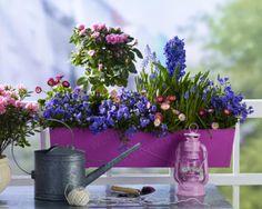 In Rosa-Violett bepflanzter Balkonkasten