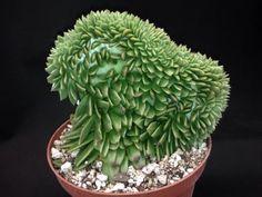 Echeveria agavoides crest LARGE/succulent/agave/haworthia/aloe/