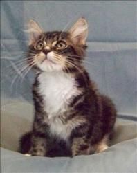 <3 Freddie is an adoptable Domestic Medium Hair Young Male Cat in San Luis Obispo, CA.  Primary Color: Brown Tabby Weight: 5.88 Age: 4mths 2wks  Animal has been Neutered... Woods Humane Society, San Luis Obispo, CA  (805) 543-9316 x 11