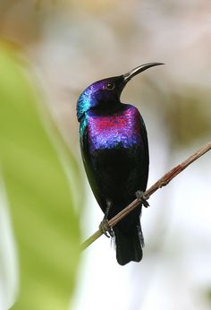 Splendid Sunbird    Taken in Millenium Park, Abuja, Nigeria    :O  look at the shine on those exquisite colours. He looks like a statue <3