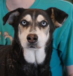 Elizabeth is a kind, polite lady with regal beauty.  She adores people and she is very good-natured.  We rescued Elizabeth from another shelter to provide her with dental care (cleaning and two extractions).  She is a Husky & Shepherd mix, about 6 years of age, spayed, and debuting for adoption today at Nevada SPCA (www.nevadaspca.org).  Please ask for Elizabeth by name when you visit.
