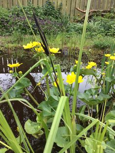 Carex acuta #Slender #flowering #rush at the #pond edge @wildernesstamed #garden