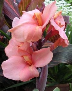 Canna Crozy Group 'Albèric', Pfitzer 1949 (Photo credit: Wikipedia) - One of the few canna with a showy flower.