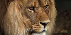 Justice for Cecil the lion from Hwange Park, Zimbabwe killed by Minnesota dentist Walter Palmer!