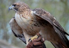 Red Tailed Hawk at Nature Station https://www.flickr.com/photos/lblkytn/14061524621/in/album-72157632542596811/ Photo by Kelly Bennett