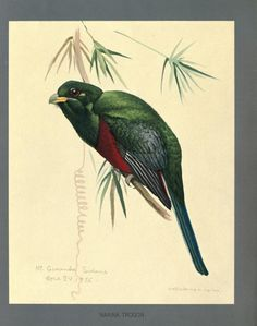 Fieldiana Zoology Special Handbooks - Album of Abyssinian birds and mammals / From paintings by Louis Agassiz Fuertes. 1930   Narina Trogon