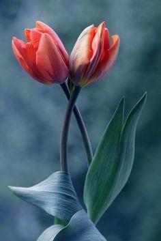 Resultado de imagem para tulipas vermelhas amor eterno