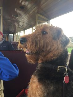 Jenkins the Airedale on a train!