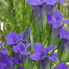 Everwilde Farms - 500 Fringed Gentian Native Wildflower Seeds - Gold Vault Jumbo Seed Packet ** Insider's special review you can't miss. Read more  : Gardening Flowers