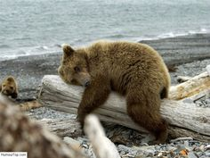 I feel like that bear. The weather is inclement and it's Sunday afternoon. All Gods Creatures, Cute Creatures, Beautiful Creatures, Photo Humour, Spirit Bear, Cut Animals, Wild Animals, We Bear, Animals Of The World