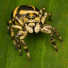 Jumping Spiders are usually found in folds of drapery and curtains, in sheets, in between books, and underside of molding and doors URL:http://wolfspider.org/