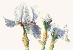 Rosie Sanders Iris 'Love's Tune' Watercolour on Arches paper x x Iris Flowers, Botanical Flowers, Botanical Art, Botanical Drawings, Botanical Illustration, Watercolor Cards, Watercolor Flowers, Watercolor Architecture, Print Artist