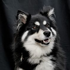 Shot For Me, Alaskan Malamute, Samoyed, Dog Breeds, Dogs And Puppies, Pure Products, Pets, Animals, Animals And Pets