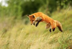 An orange fox pouncing on its prey in tall grass.