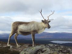 Holiday in The Cairngorm? Yes please! #winter #reindeer