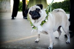 Pug with beautiful floral wedding day collar.